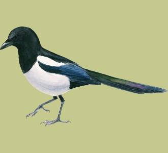 Take in a magpie species bird