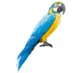 Blue-and-yellow Macaw ##STADE## - plumages 5
