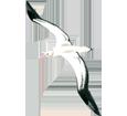 Albatross ##STADE## - plumages 5