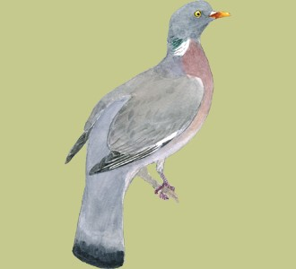 Take in a common wood pigeon species bird