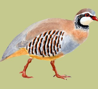 Take in a red-legged partridge species bird