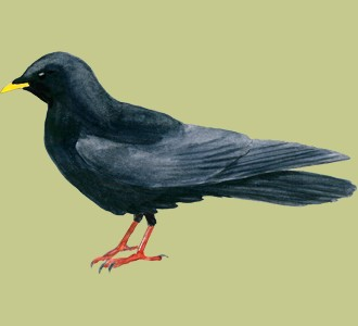 Take in a chough species bird