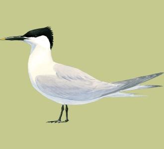 Take in a sandwich tern species bird