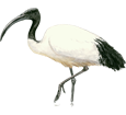 Sacred Ibis ##STADE## - plumages 65