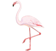 Flamingo ##STADE## - plumages 68