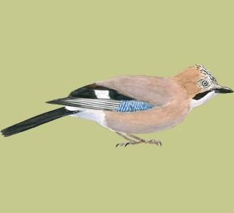 Take in a jay species bird