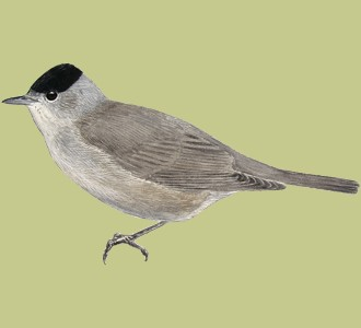 Blackcap ##STADE## - plumages 52