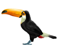 Toucan ##STADE## - plumages 46